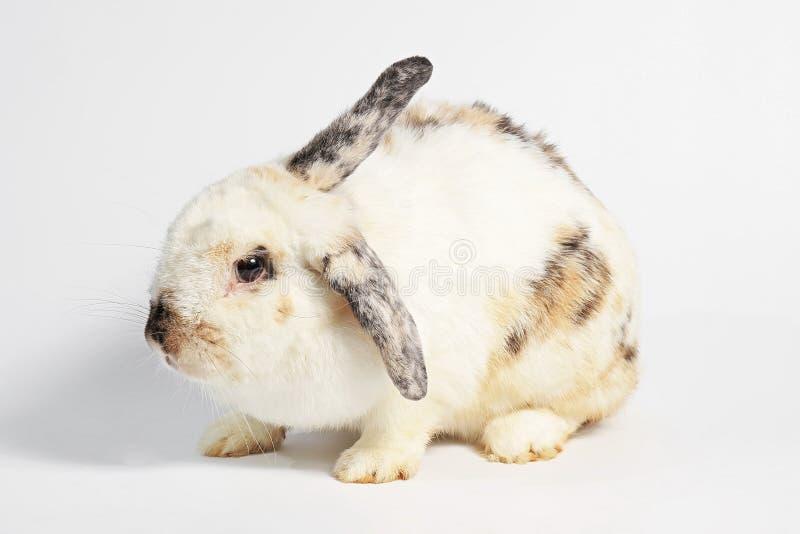 Грызун, млекопитающееся животное чернота предпосылки изолированная над белизной кролика стоковая фотография