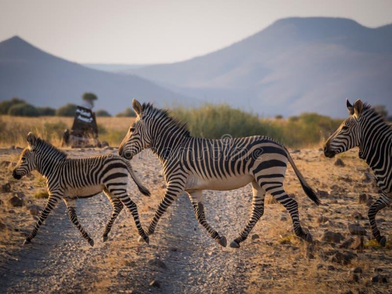 Грязная улица в уступке Palmwag во время после полудня, Намибия скрещивания зебр семьи из трех человек, Южная Африка стоковая фотография rf