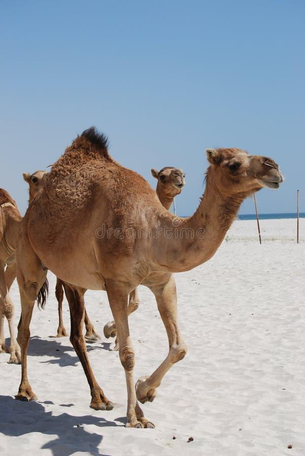 гулять верблюдов пляжа стоковые фотографии rf