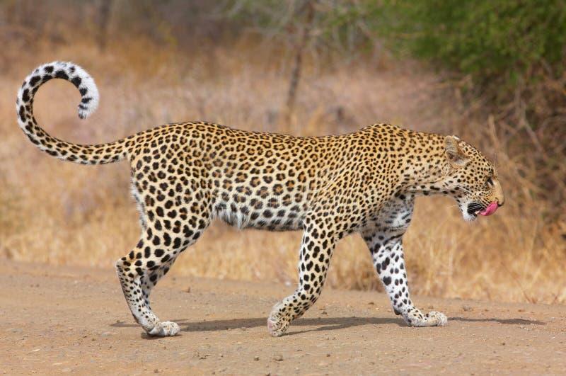 гулять дороги леопарда стоковое фото