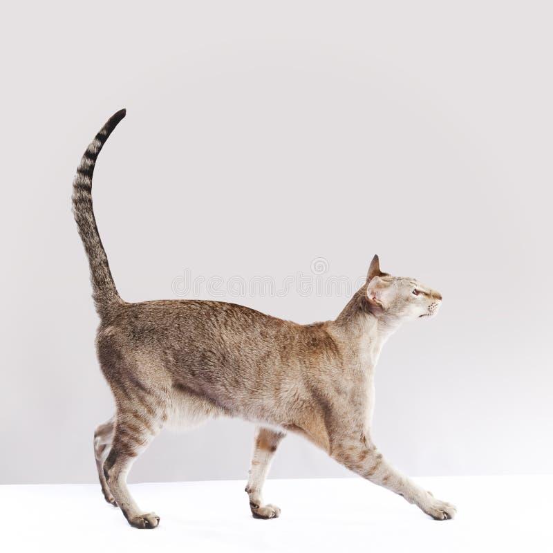 гулять кота стоковые фотографии rf