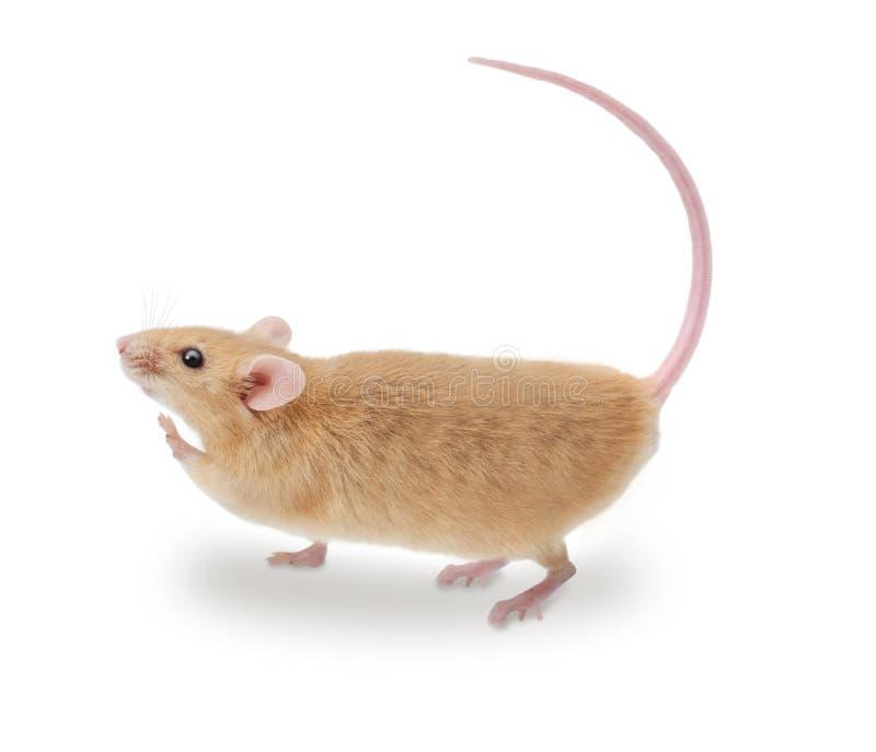 гулять мыши стоковые фото