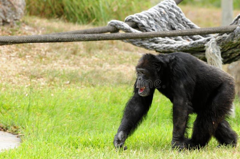 Гулять шимпанзеа стоковая фотография