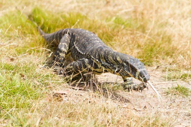 гулять ящерицы австралийской травы goanna большой стоковые фотографии rf