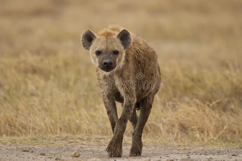 гулять hyena bush стоковое изображение