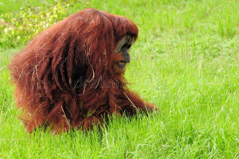 гулять orangutan стоковые фото
