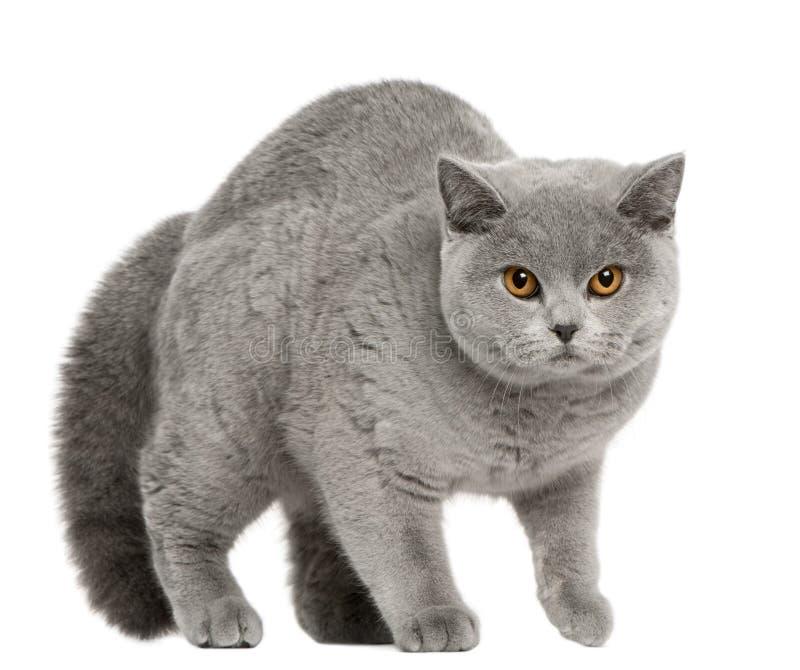 гулять shorthair 8 великобританских месяцев кота старый стоковые фото