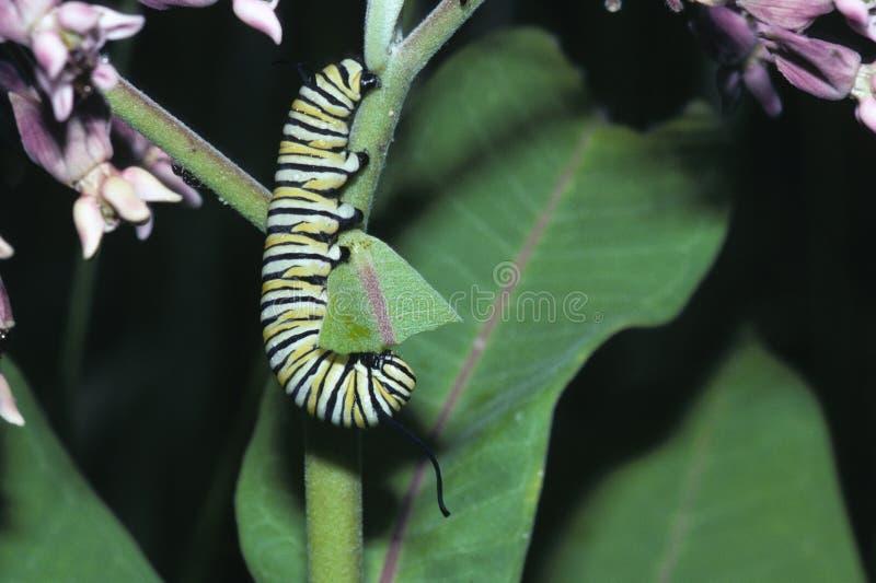 Гусеница бабочки монарх стоковое фото