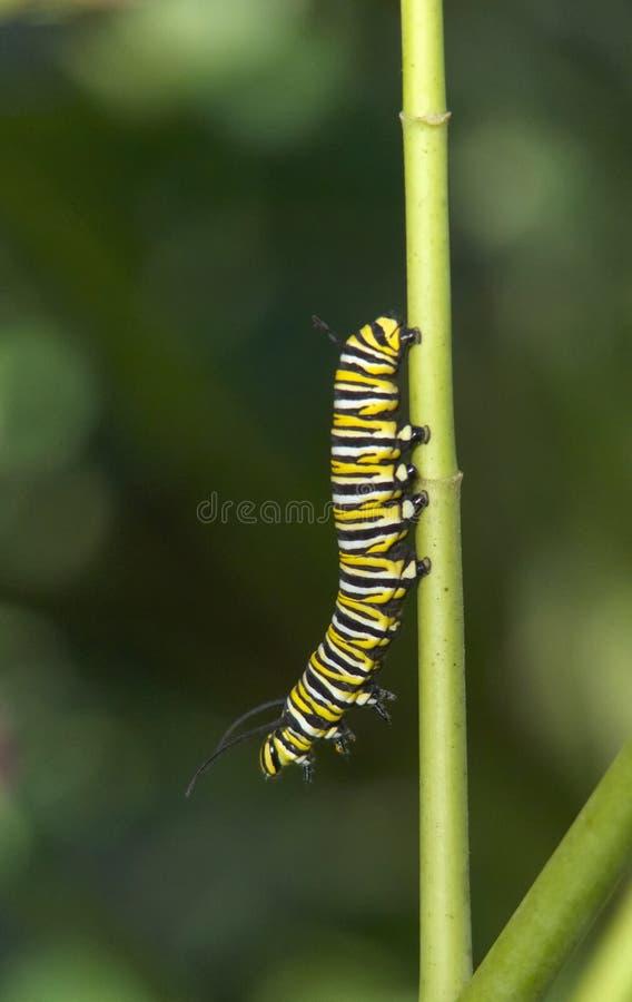 Гусеница бабочки монарх стоковые изображения rf