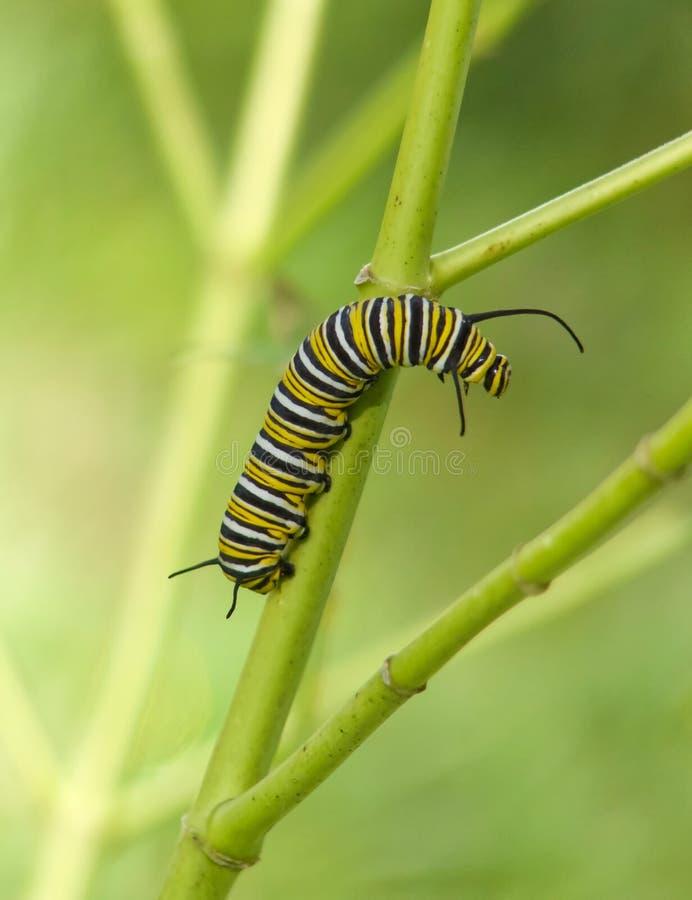 Гусеница бабочки монарх стоковое изображение rf