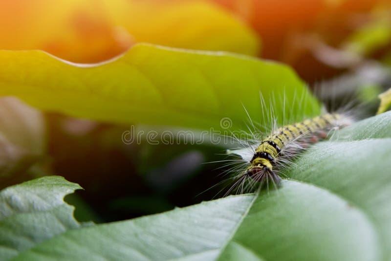 гусеница есть зеленые лист в утре стоковое изображение rf