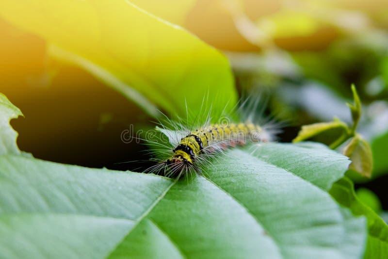 гусеница есть зеленые лист в утре стоковая фотография rf