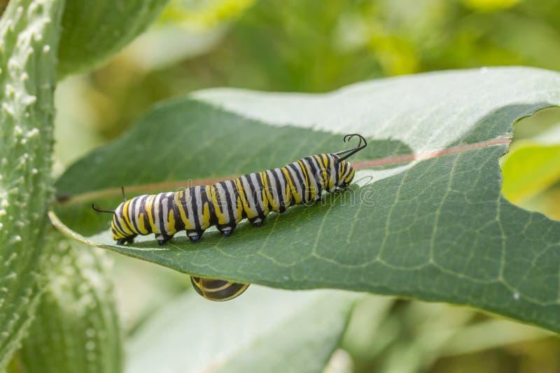 Гусеница монарх стоковая фотография rf