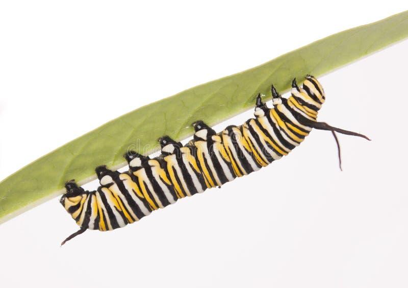 Гусеница монарх стоковые фото
