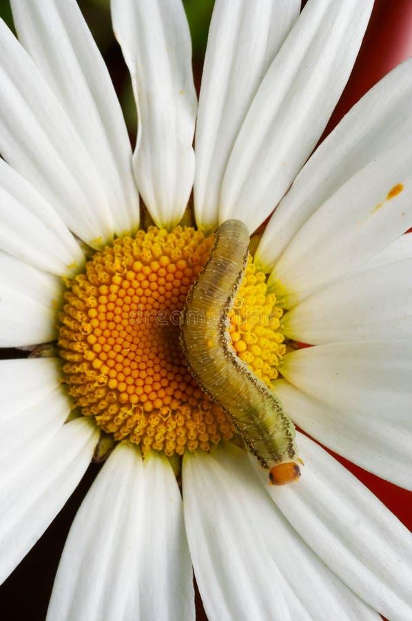 Гусеница на английской маргаритке стоковые фото
