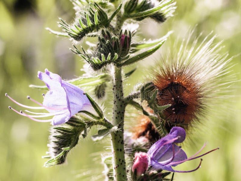 Гусеница на фиолетовом цветке, на солнечный день, очень малая глубина поля Фото макроса стоковая фотография rf