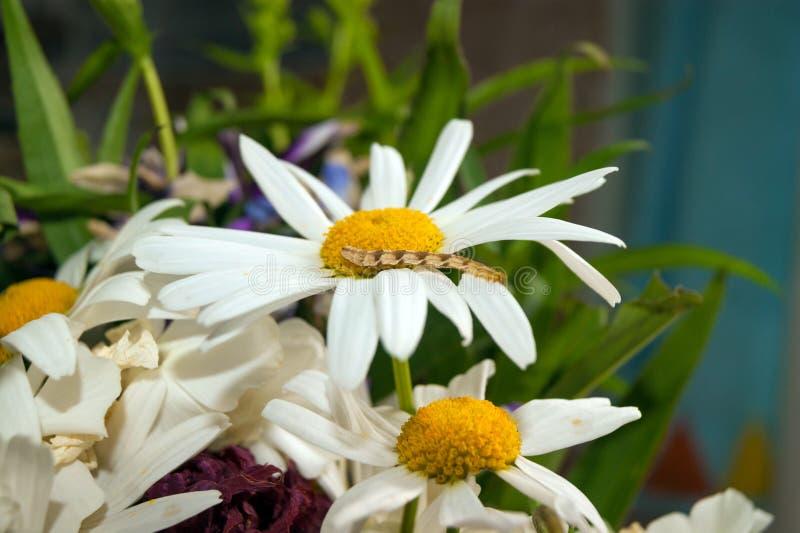 Гусеница на daisy_3 стоковое изображение
