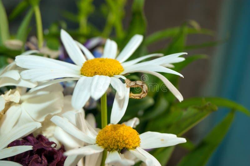 Гусеница на daisy_1 стоковое изображение rf