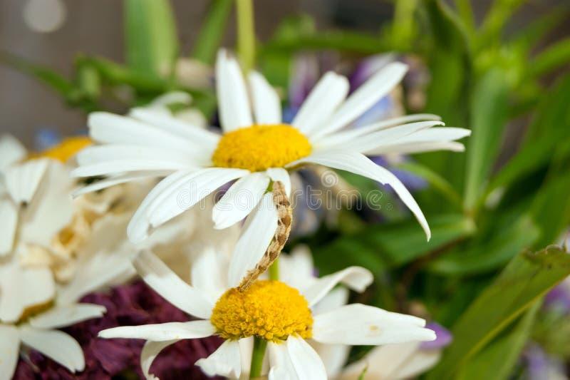 Гусеница на daisys стоковое фото rf