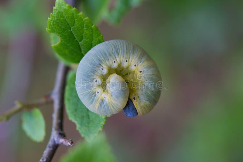 гусеница сонная стоковые фото