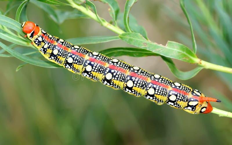 Гусеница хоук-сумеречницы spurge euphorbiae Hyles стоковая фотография rf