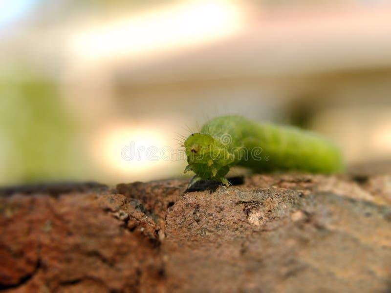 Гусеница 3 Looper капусты стоковое фото rf