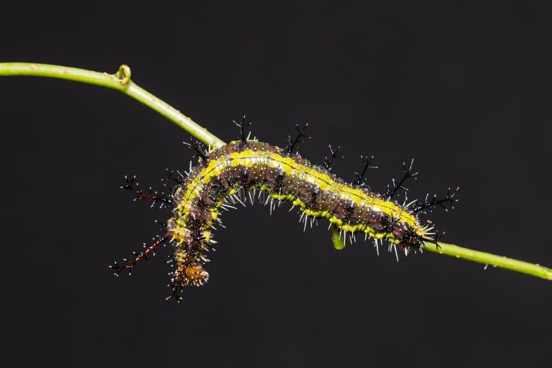 Гусеница Parthenos sylvia клипера стоковые фото