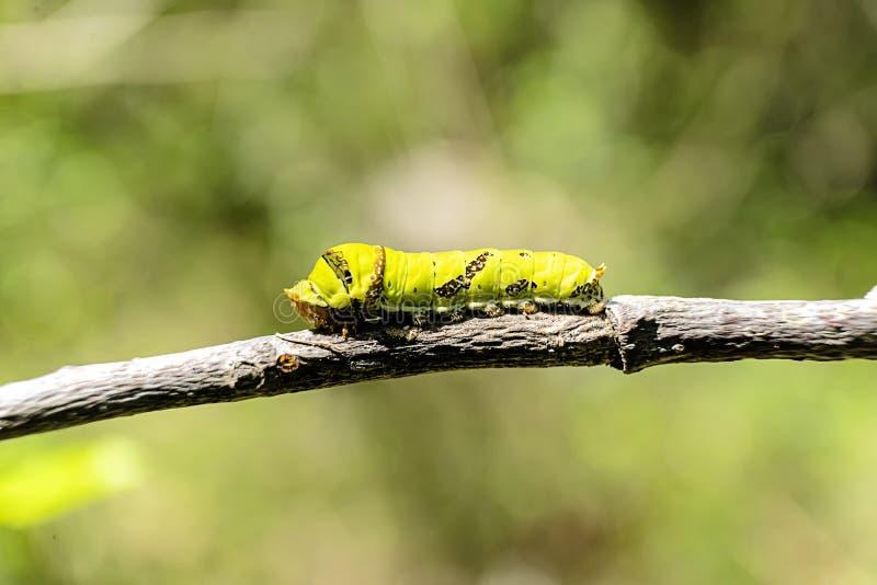 Гусеница Swallowtail с зеленой предпосылкой стоковые фото