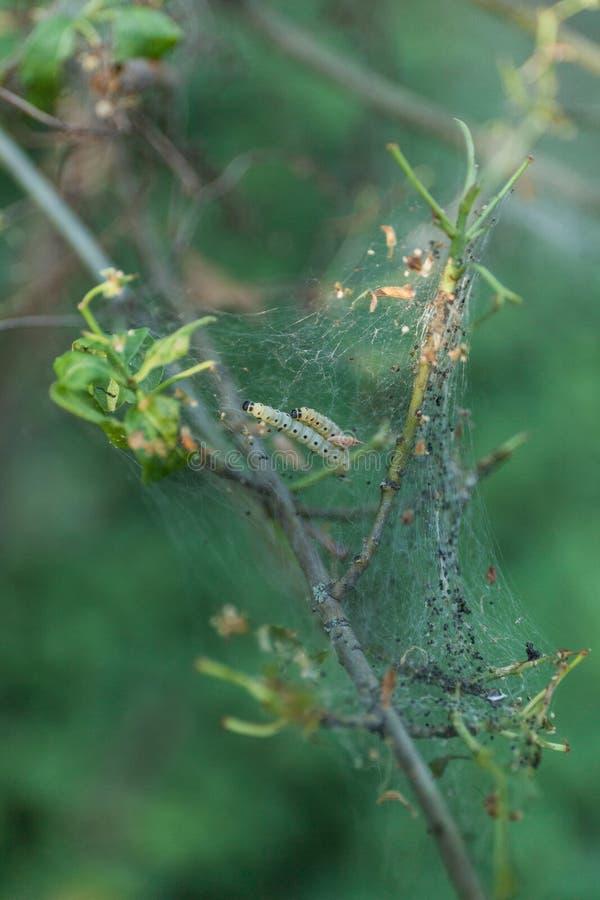Гусеницы собирают на дерево в саде Разрушьте, насекомое стоковое изображение rf