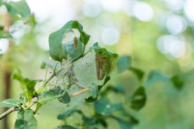 Гусеницы собирают на дерево в саде Разрушьте, насекомое стоковая фотография rf
