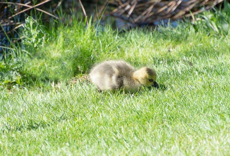 Гусенок младенца на некоторой траве стоковое изображение