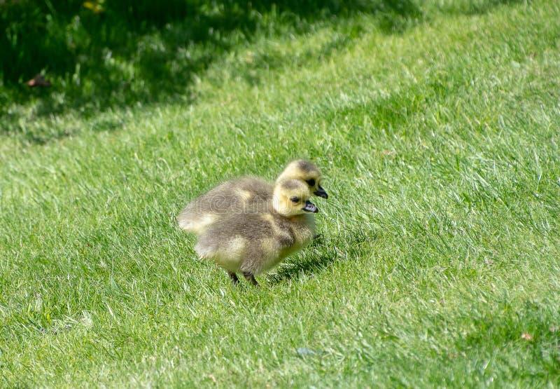 Гусенок младенца на некоторой траве стоковое изображение rf