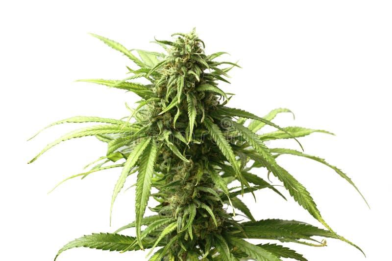 Густолиственный верхний бутон марихуаны на заводе конопли белой предпосылкой стоковое фото rf