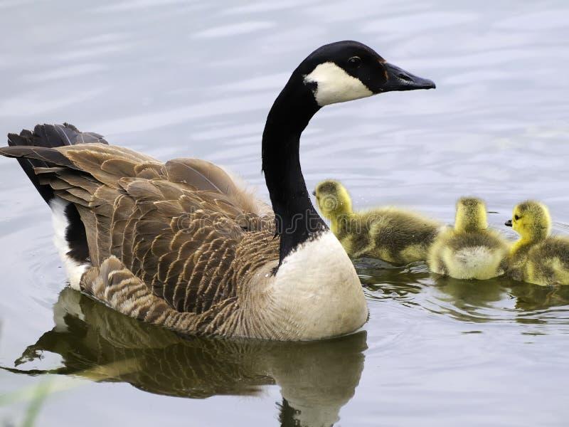 гусына семьи Канады стоковая фотография