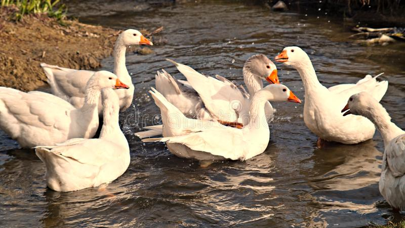 Гусыни играя в воде стоковая фотография rf