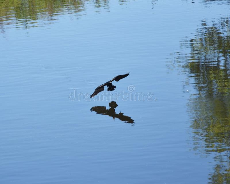 Гусыни Канады летания стоковые фото