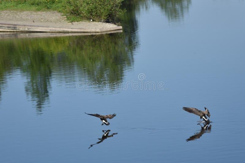 Гусыни Канады летания стоковая фотография rf