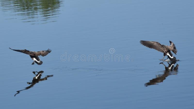 Гусыни Канады летания стоковая фотография