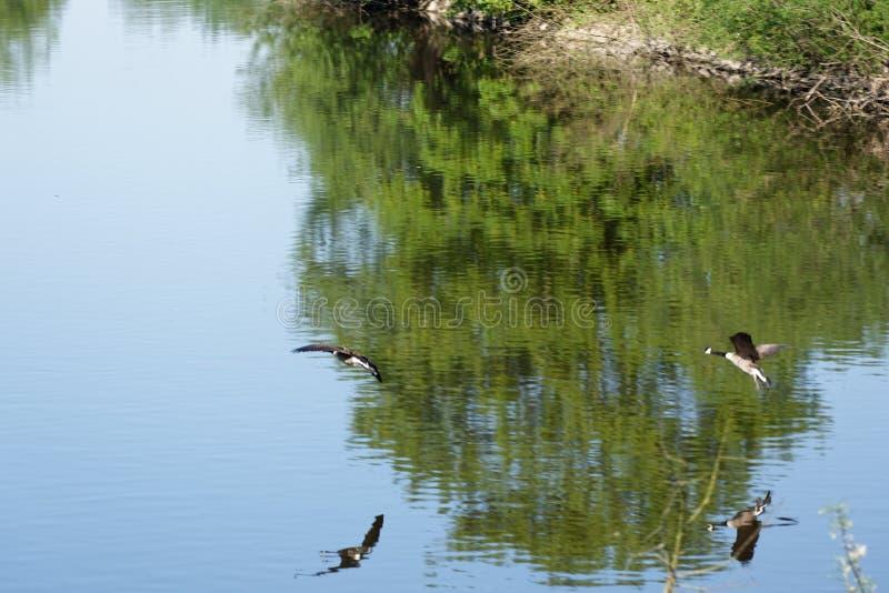 Гусыни Канады летания стоковое изображение rf