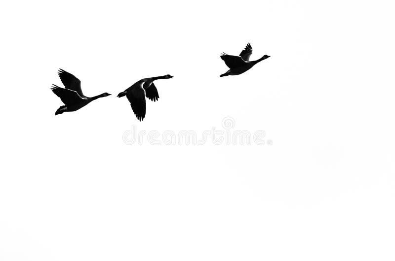 Гусыни Канады Silhouetted на белой предпосылке по мере того как они летают стоковое изображение