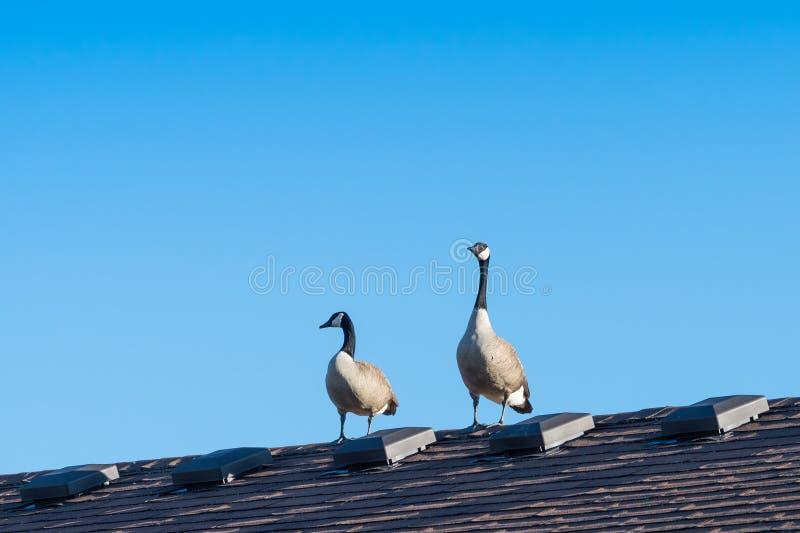 Гусыни Канады на крыше стоковые фото