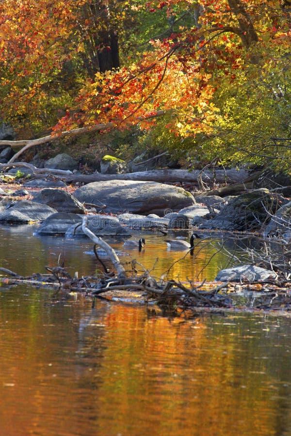 Гусыни Канады плавая между отражениями листопада, кантоном, жуликом стоковое фото