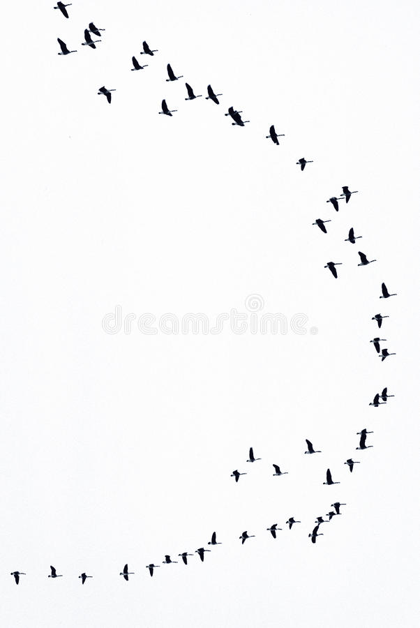 гусыни летания стоковые изображения rf