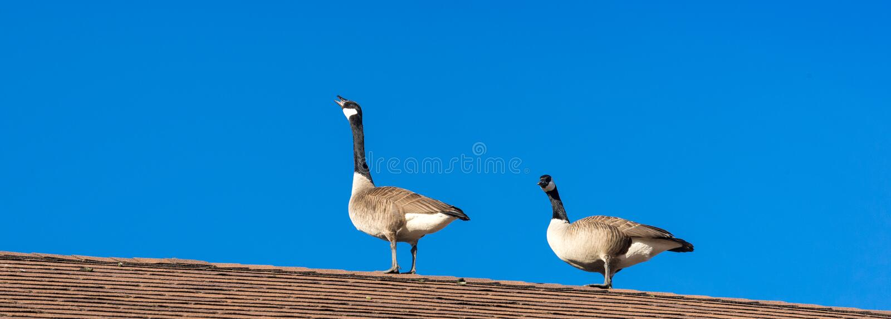 2 гусыни на крыше стоковые фотографии rf