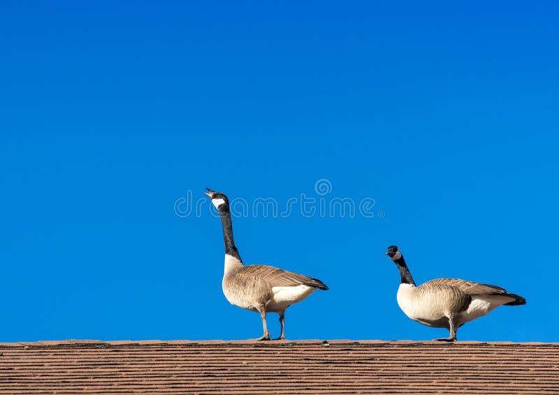 2 гусыни на крыше стоковые изображения