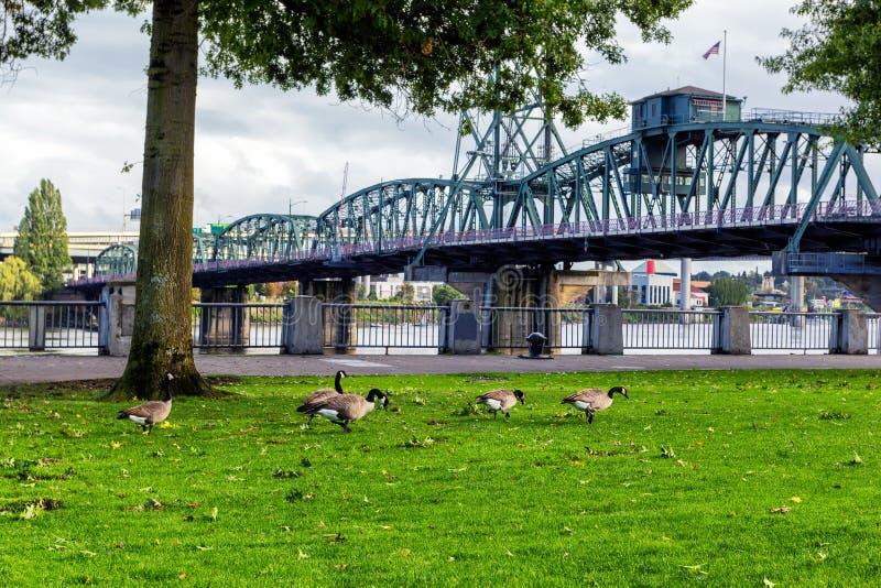 Гусыни на парке портового района Тома McCall в Портленде, Орегоне стоковые изображения