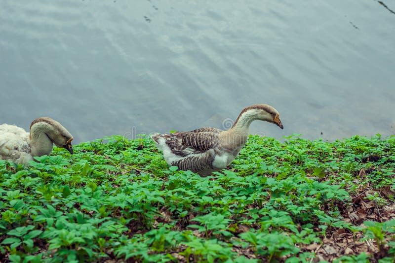 Гусыни на пляже идя вдоль травы, птицы стоковое фото rf