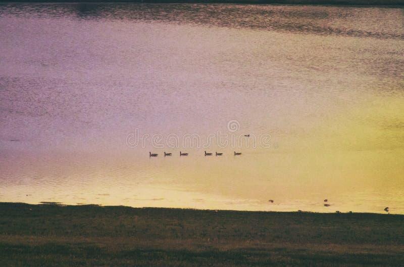Гусыни плавая в линию на красочном реке захода солнца стоковые фото
