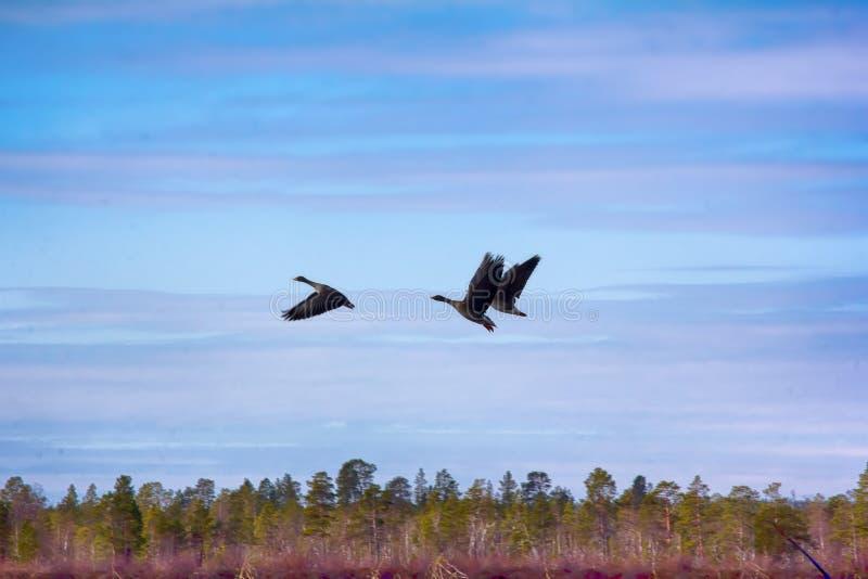 гусыни фасоли Лес-размножения на предпосылке лета голубого sk стоковые изображения