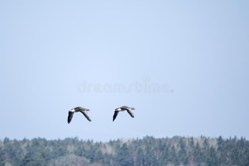 2 гусыни greylag летая с лесом на заднем плане стоковое фото